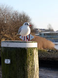 A gaivota está relaxando no sol Fotografia de Stock Royalty Free