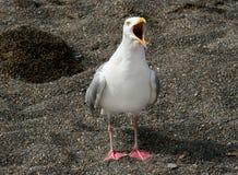 Gaivota gritando Foto de Stock