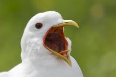 Gaivota gritando Imagem de Stock Royalty Free