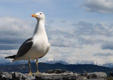 A gaivota Jonathan Portovenere Fotografia de Stock Royalty Free