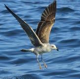 Gaivota juvenil da alga do voo Água azul do oce Fotos de Stock Royalty Free
