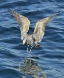 Gaivota juvenil da alga do voo & x28; Dominicanus& x29 do Larus; , igualmente sabido como a gaivota e o preto dominiquenses supor Imagens de Stock