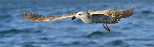 Gaivota juvenil da alga do voo Dominicanus do Larus Imagens de Stock Royalty Free