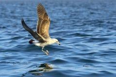 Gaivota juvenil da alga do voo Dominicanus do Larus Fundo do oceano da água azul Foto de Stock Royalty Free