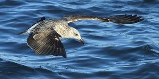 Gaivota juvenil da alga do voo em voo Dominicanus do Larus Imagens de Stock