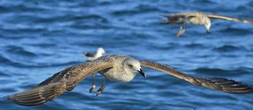 Gaivota juvenil da alga do voo em voo Dominicanus do Larus Fotos de Stock