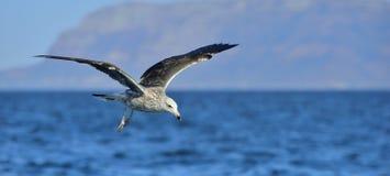 Gaivota juvenil da alga do voo Fundo natural azul Fotografia de Stock