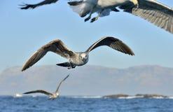 Gaivota juvenis da alga do voo, igualmente conhecidas como a gaivota e o preto dominiquenses suportaram a gaivota da alga Imagem de Stock Royalty Free