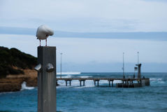 A gaivota, limpeza do pássaro empluma-se o assento no polo pelo oceano, molhe no fundo Fotografia de Stock