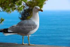 Gaivota mediterrânea Fotografia de Stock Royalty Free