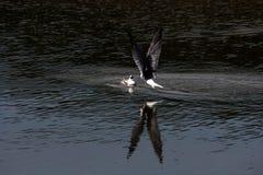 A gaivota (morwennol) alimenta o pássaro de bebê que pendura Imagem de Stock Royalty Free