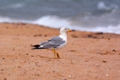 Gaivota na areia perto do mar Foto de Stock