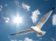 Gaivota na luz do sol Fotos de Stock Royalty Free
