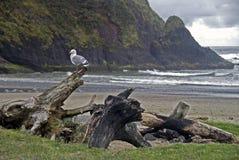 Gaivota na madeira lançada à costa Imagem de Stock