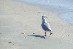 Gaivota na praia Imagens de Stock Royalty Free