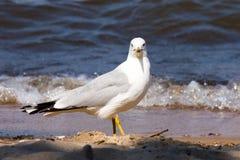 Gaivota na praia Fotos de Stock Royalty Free