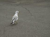 Gaivota na praia Imagem de Stock