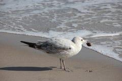 Gaivota na praia de Florida Foto de Stock Royalty Free