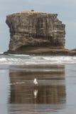 Gaivota na praia de Muriwai Fotografia de Stock Royalty Free