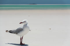 Gaivota na praia de Whitehaven mim foto de stock royalty free
