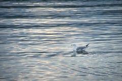 Gaivota nas águas do Lago Baikal imagens de stock
