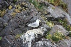 Gaivota nas rochas Fotografia de Stock