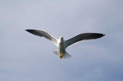 A gaivota no céu imagens de stock royalty free