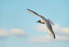 A gaivota no céu fotografia de stock