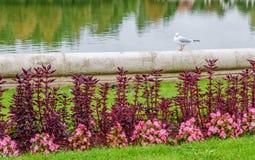 Gaivota no lago Imagens de Stock Royalty Free
