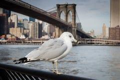 Gaivota no parque da ponte de Brooklyn Fotos de Stock Royalty Free