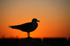 Gaivota no por do sol Fotografia de Stock