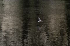 Gaivota no rio Fotografia de Stock Royalty Free