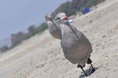 A gaivota nova na areia, Coronado Fotos de Stock Royalty Free