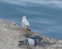 A gaivota olha os pombos Olhar estranho Foto de Stock