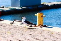 Gaivota orgulhosa no porto Imagem de Stock Royalty Free