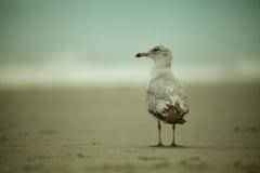 Gaivota ou andorinha-do-mar na praia Fotos de Stock Royalty Free