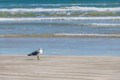 A gaivota pela ressaca fotos de stock
