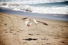 Gaivota-Praia Imagens de Stock Royalty Free