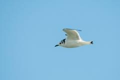 gaivota Preto-equipada com pernas Foto de Stock