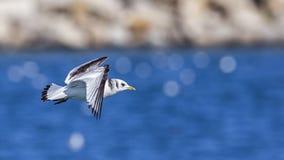 gaivota Preto-equipada com pernas em voo foto de stock royalty free