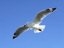 gaivota Preto-faturada Imagens de Stock