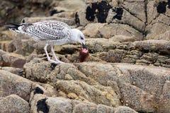 Gaivota que come a cabeça dos peixes Fotografia de Stock Royalty Free