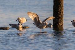 A gaivota que está na água com suas asas espalhou extensamente Fotos de Stock Royalty Free