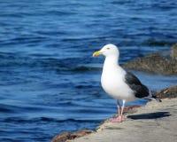 Gaivota que está no molhe no litoral Foto de Stock