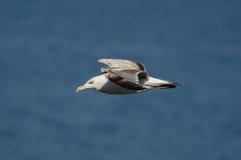 Gaivota que está voando sobre o mar azul Fotografia de Stock Royalty Free