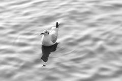 Gaivota que flutua em uma superfície da água da ondinha, phot preto e branco imagem de stock royalty free