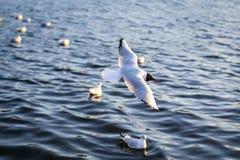 Gaivota que fluying sobre a água imagens de stock royalty free