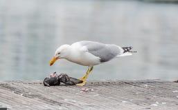 Gaivota que mata um pombo Foto de Stock Royalty Free