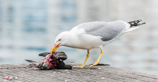 Gaivota que mata um pombo Foto de Stock