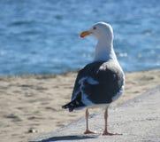 Gaivota que pendura para fora na praia Fotografia de Stock Royalty Free